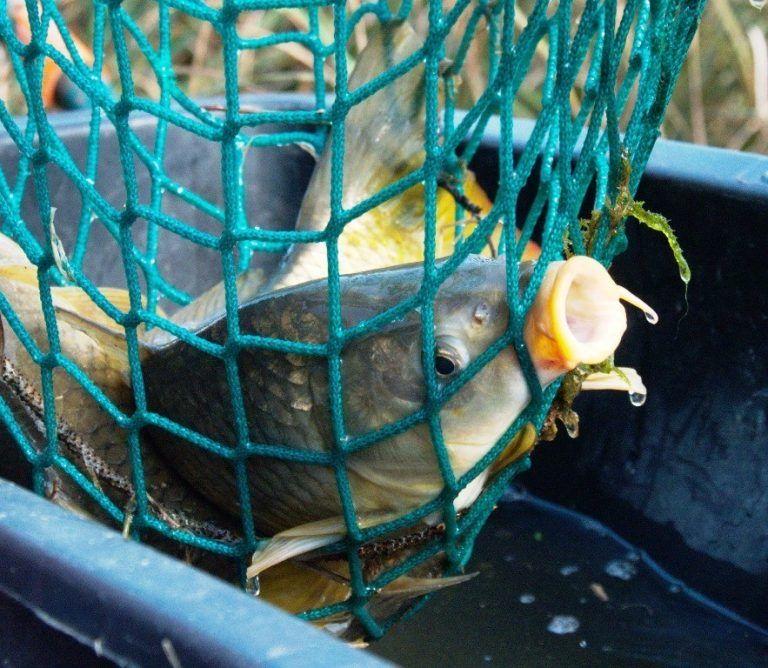 Tesco to stop sale of live carp