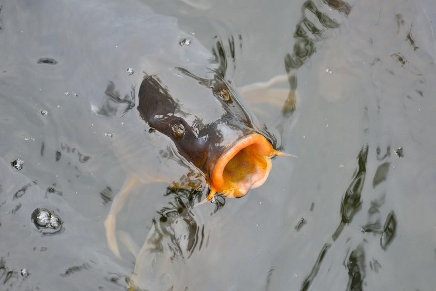 karp w wodzie