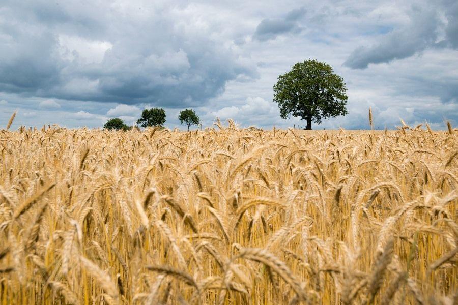 rolnictwo pole zboze